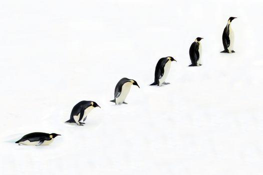 Evolution of emperor Penguin