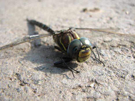 The dragonfly sits on road and has a rest