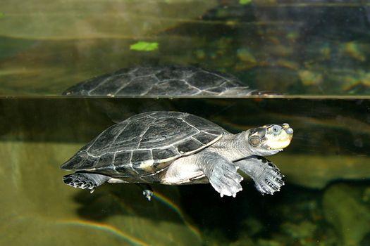 Turtle (4674)