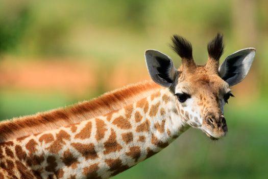 Portrait of young female giraffe in Tarangire national park, Tanzania