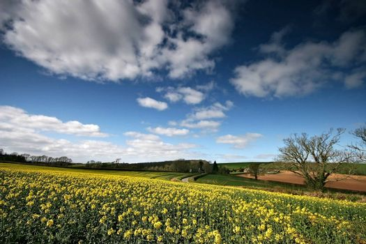 A beautifull field of a yellow rapeoil seed crop contrasts against the blue of the sky.