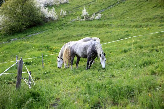 Two Horses eating