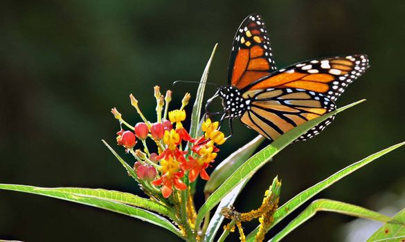 A monarch in Texas.