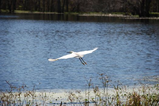 Taking off over a lake in Brazos Bend State Park, Texas