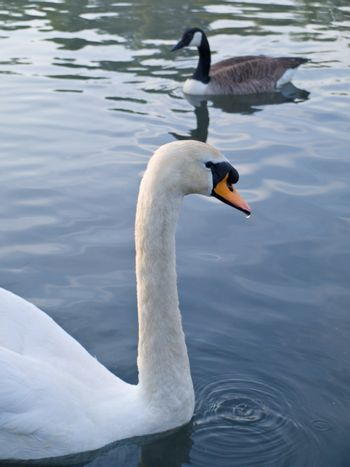 Beautiful Swan Floating Swimming On Pond