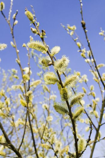 pussy willow on blue sky