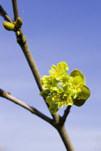 Branch of a blossoming maple in the spring