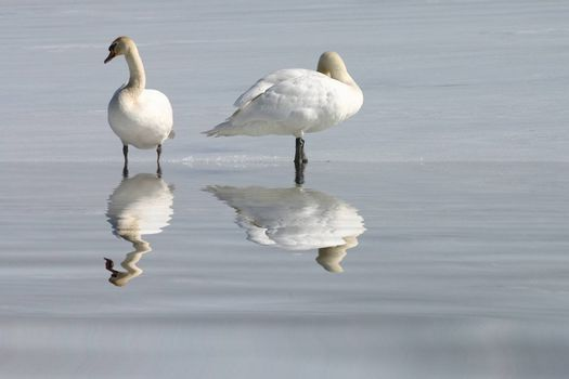 White swans on snow with reflection