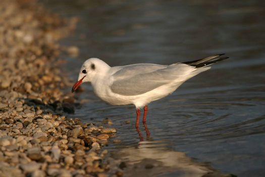 river seagull in water near coast