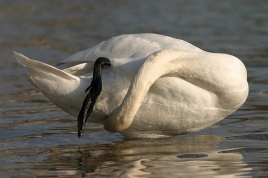 swan claning itself in water
