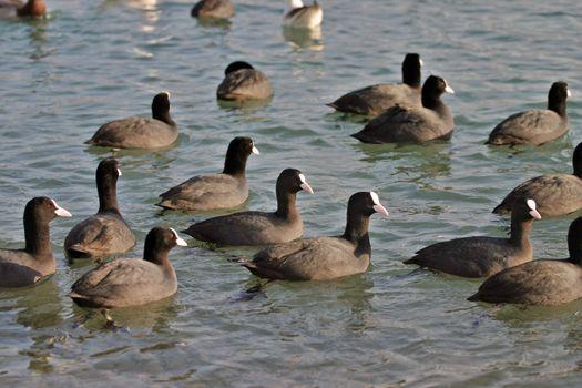 Flock of black and white ducks