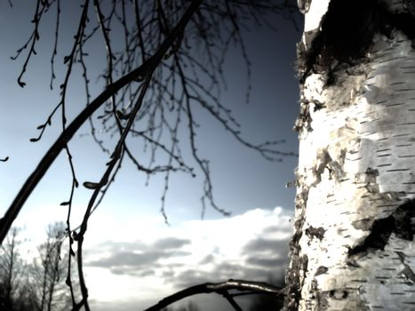 Birch sky clouds