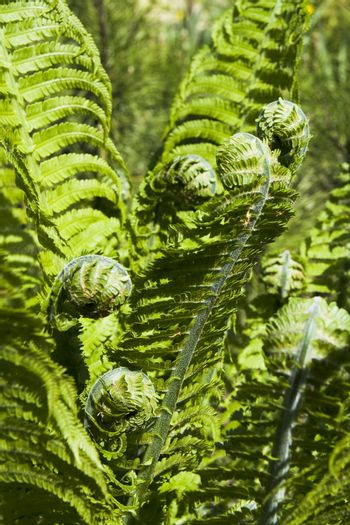 Green fern spiral at spring garden