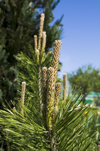 Image of a mountain pine bud under sunlight