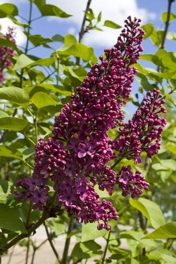 Purple flowers of lilac with leaves, fresh branches