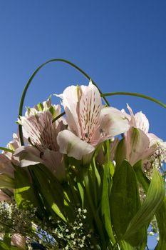 Beautiful pink flower astromeria on blue sky background