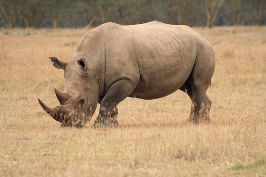 White Rhinos are grazing animals and are less aggressive than their cousins. They are still dangerous though.