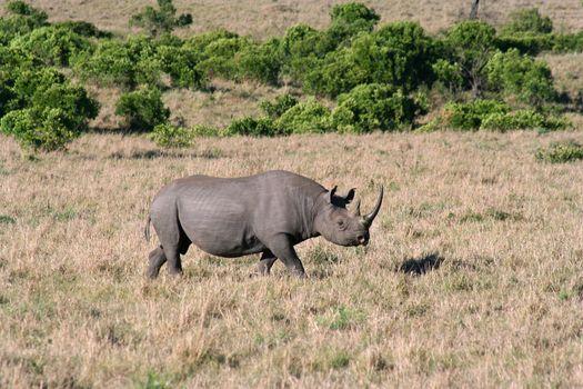 Black Rhino closer