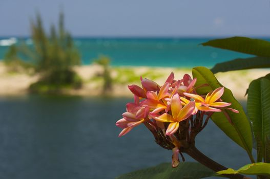 Wild Pink and Yellow Plumeria on a Tropical Shore