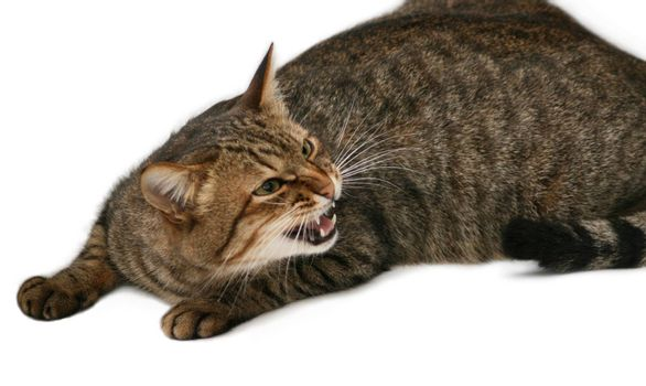 Hazardous cat with your mouth open. On a white background.