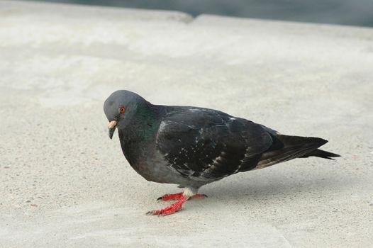 Walking dove