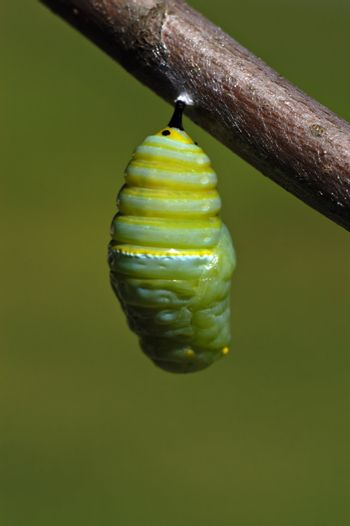 A monarch butterfly caterpillar wiggles and settles into its crysals before the cacoon hardens.