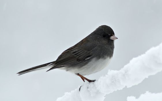 A Junco lands briefly on a snow covered clothesline during a winter snow storm.