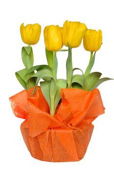 Isolated yellow tulips