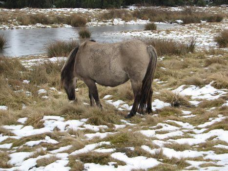 Tarpan, European wild horse in the pasture