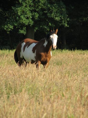 Pinto horse standing in the high grass