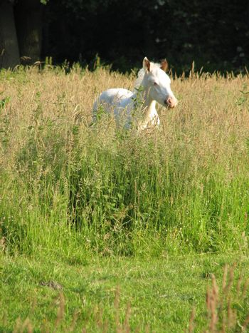 white foal standing in the high grass