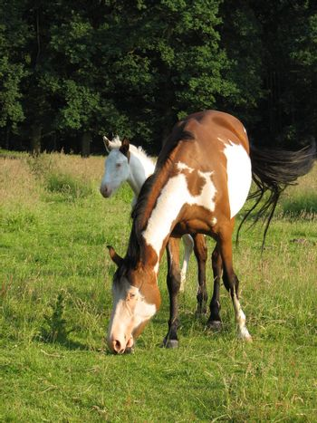 Pinto mare with foal