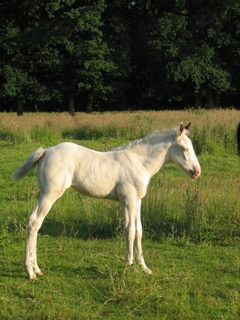 white foal in the pasture