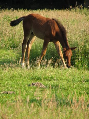 brown foal in the pasture