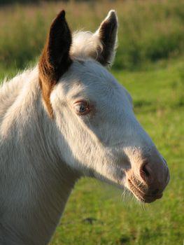 head of a white foal