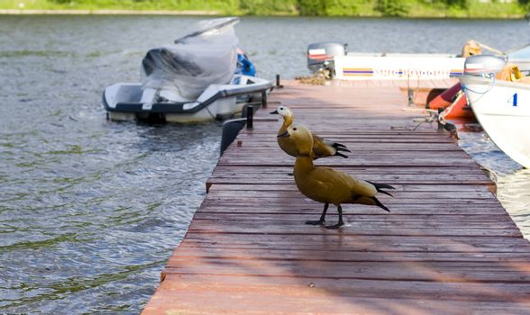 two ducks on the pier