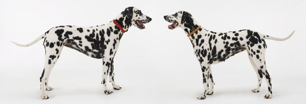 Dalmatians Face to Face