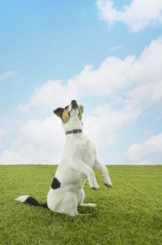 Jack Russell Terrier Standing on Hind Legs