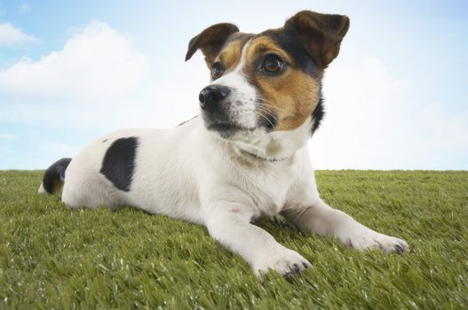 Jack Russell Terrier Lying Down on Grass