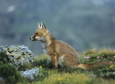 Fox Sitting by Rock