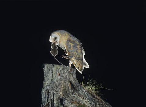 Barn Owl with Rat