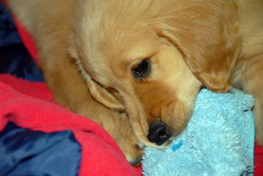 Dog gnawing a slipper
