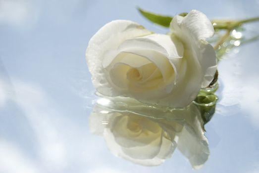 alone white rose
