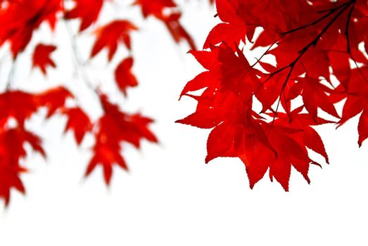 Red fall leaves of japanese maple isolated on white background