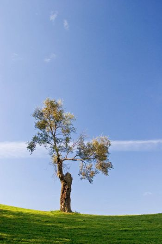 Tree in golf field with blue sky