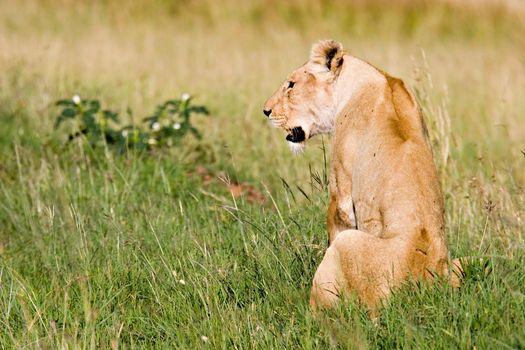 Female lion on African Savannah
