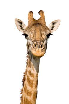 Massai Giraffe Close-up isolated on White. Massai Mara, Kenya