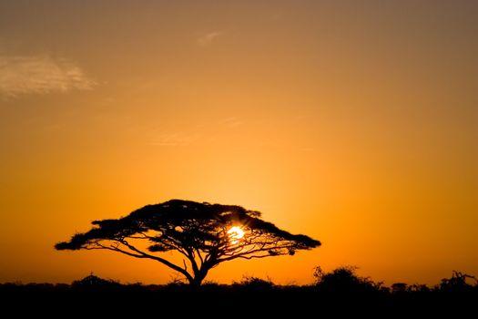 Beautiful african sunrise, with backlit acacia tree on Amboseli Natural Park, Kenya.