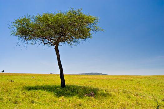Two cheetahs resting below an acacia tree in Massai Mara, Kenya