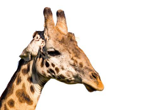 Giraffe profile isolated on white